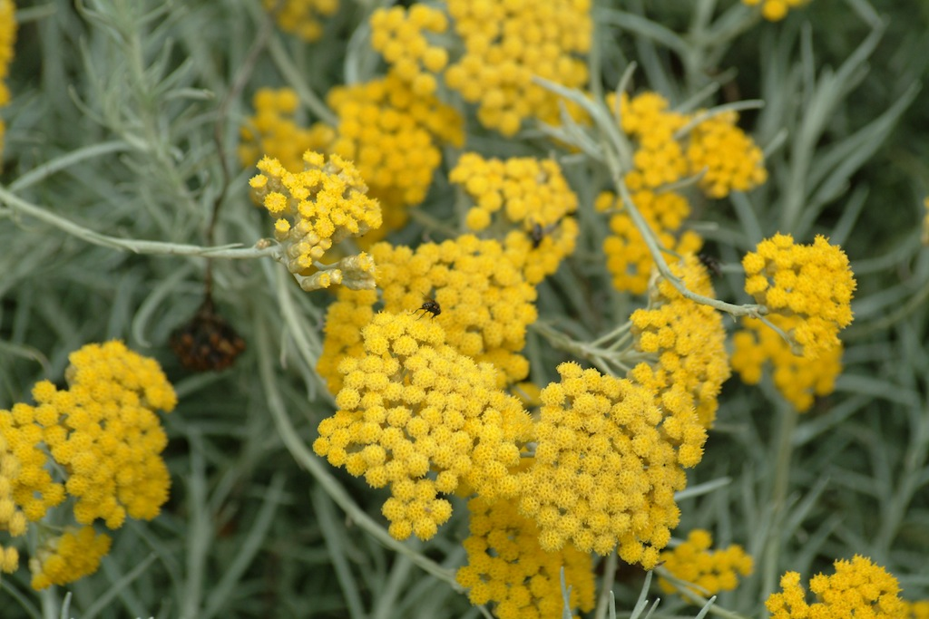 Helichrysum Italicum Or Curry Plant