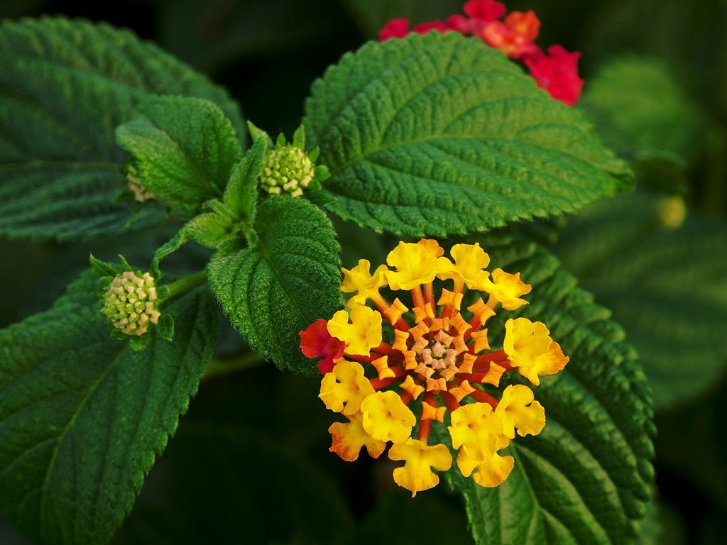 Lantana Flowers and Leaves