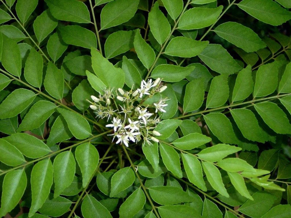 Murraya Koenigii - Curry Leaf Tree