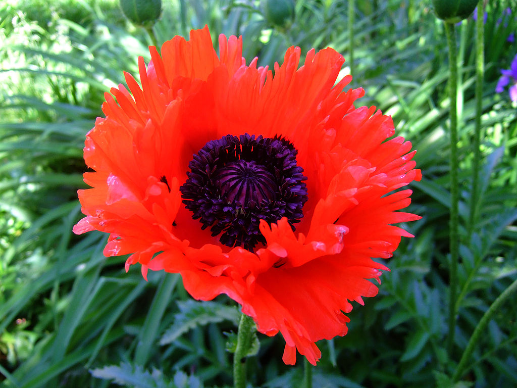 Oriental Poppy Or Papaver Orientale