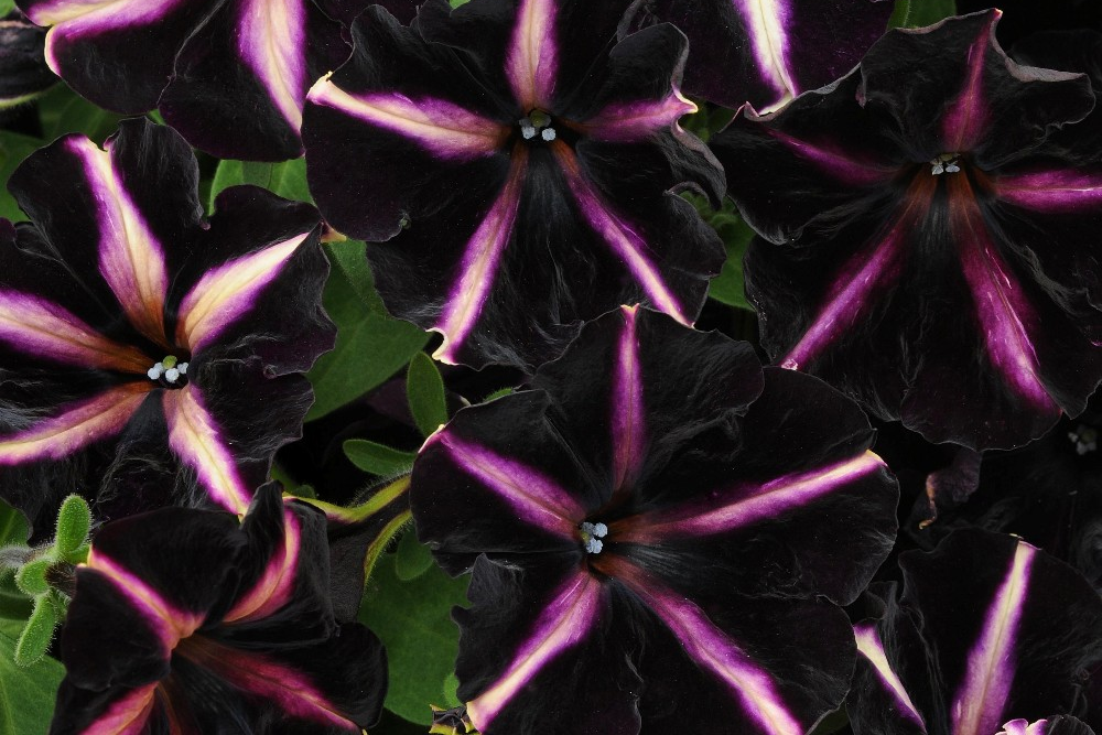 Petunia Pinstripe