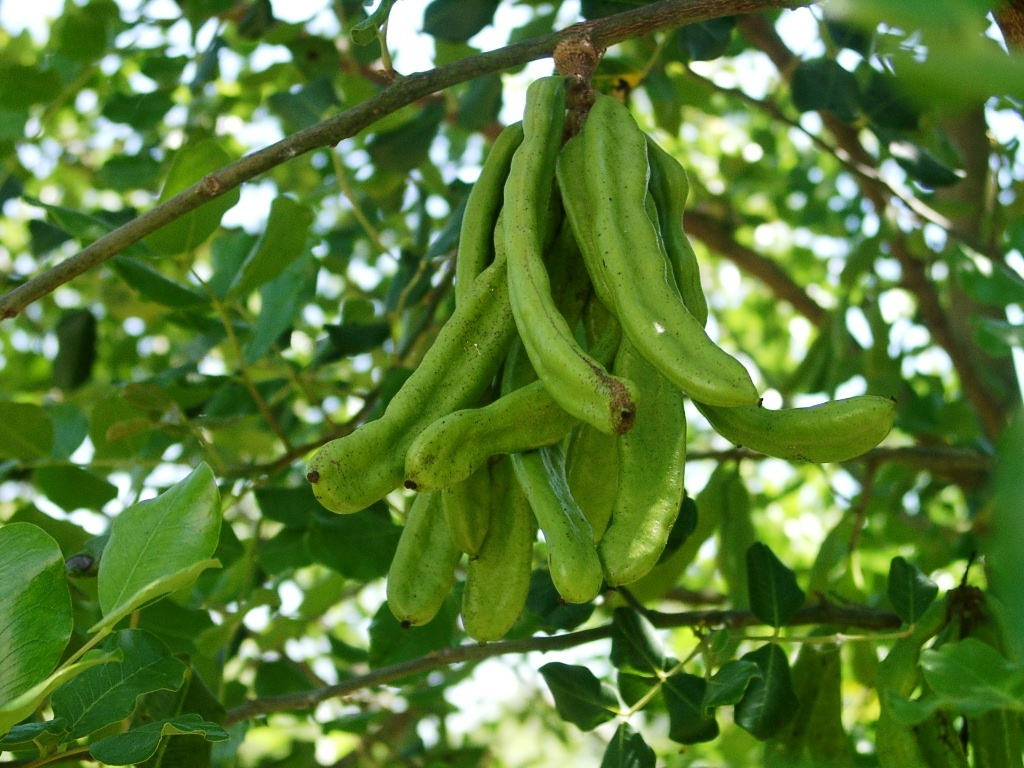 Ceratonia Siliqua Or Carob Tree