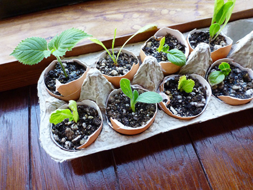 Seeds in the eggshell pots