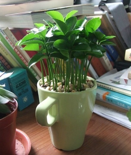 Grow lemon seeds in a cup