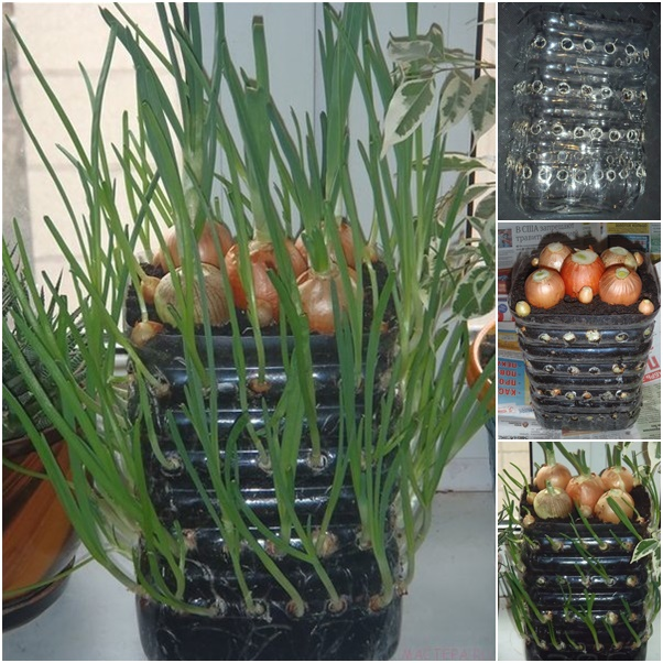 Grow onions vertically on your windowsill
