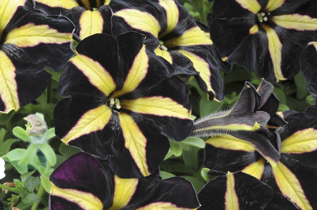 Black petunia Phantom