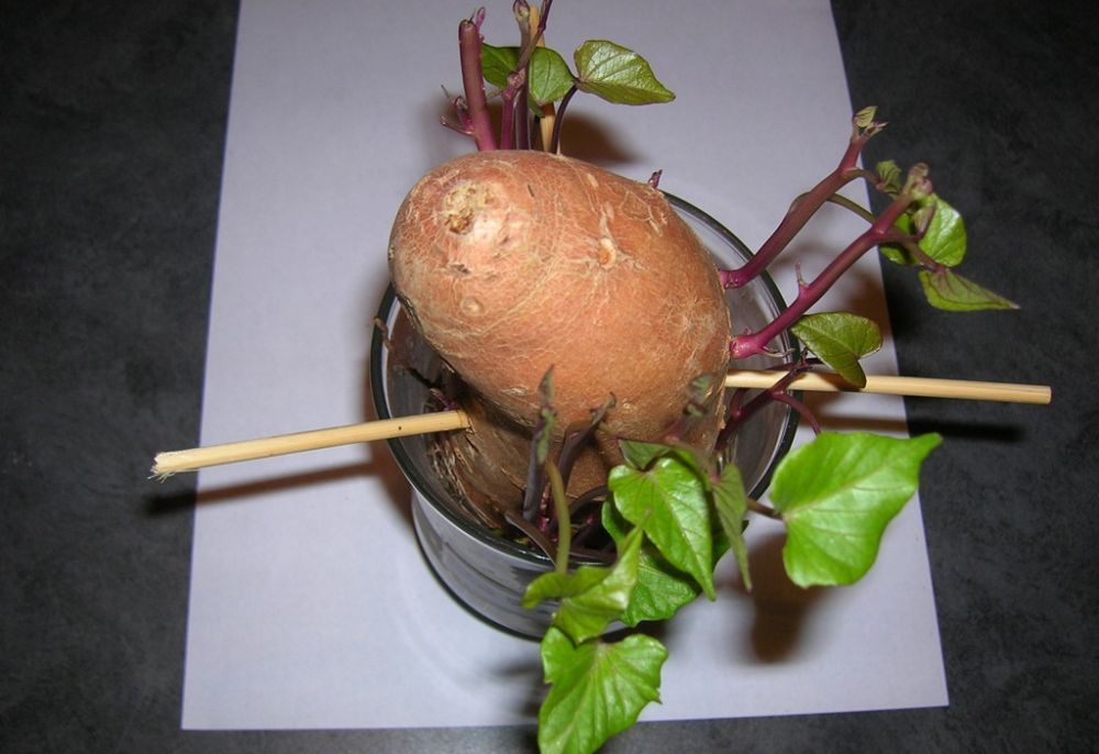 Grow sweet potato vines indoors