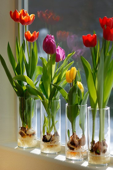 Grow tulips in a vase