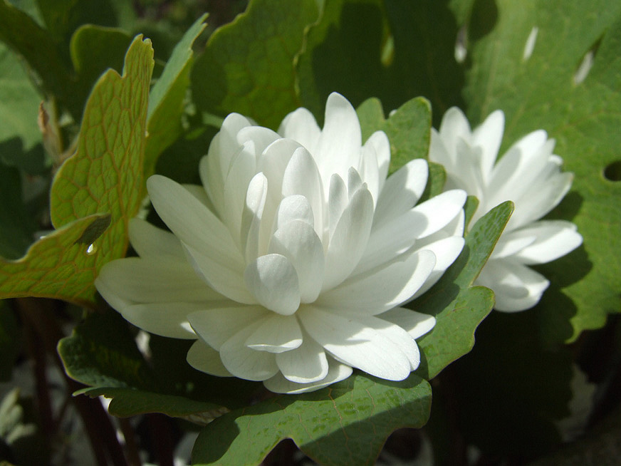 Bloodroot or Sanguinaria canadensis