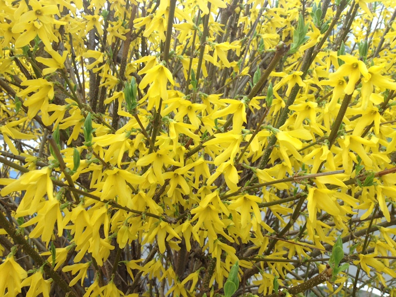What is this bush with yellow flowers?
