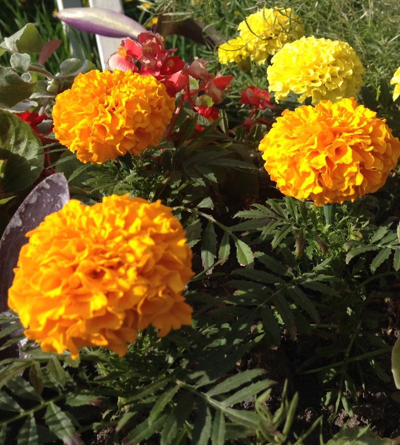 Is this a French marigold or garden marigold (calendula)?