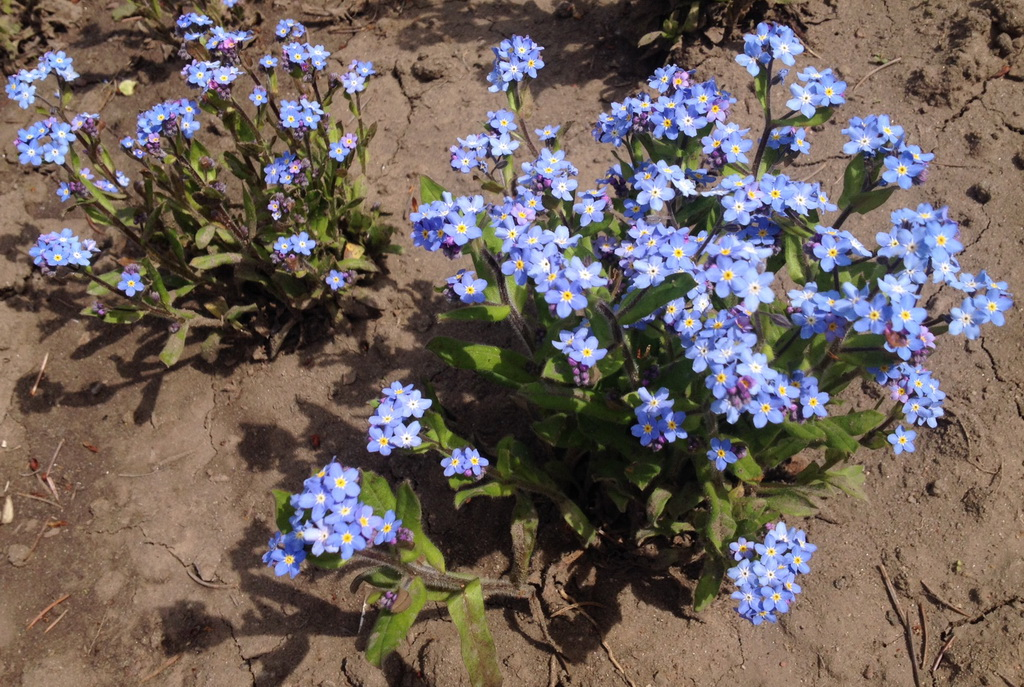 Help to identify these tiny blue flowers