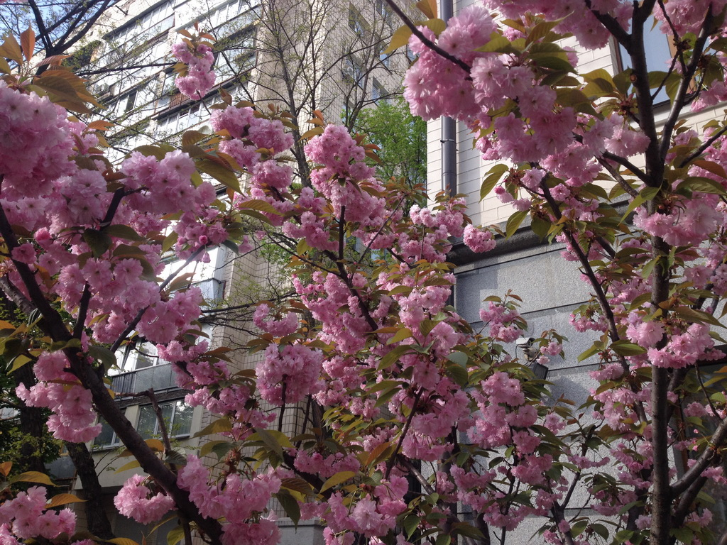 Is this a sakura?