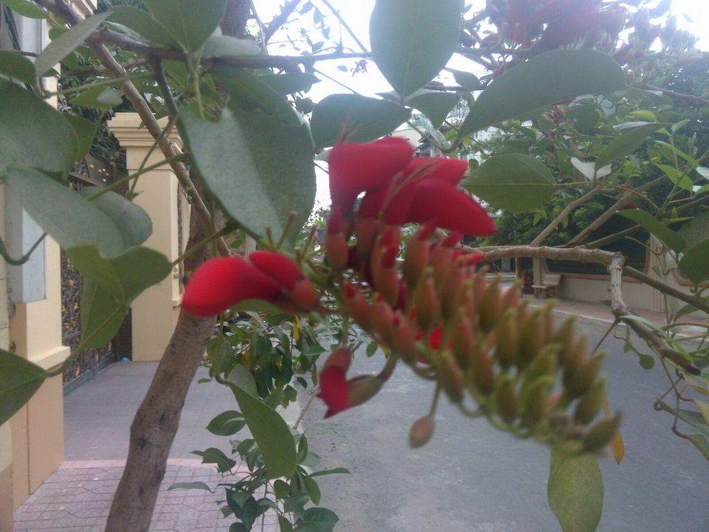 Help to identify this tree with red flowers seen in Cambodia