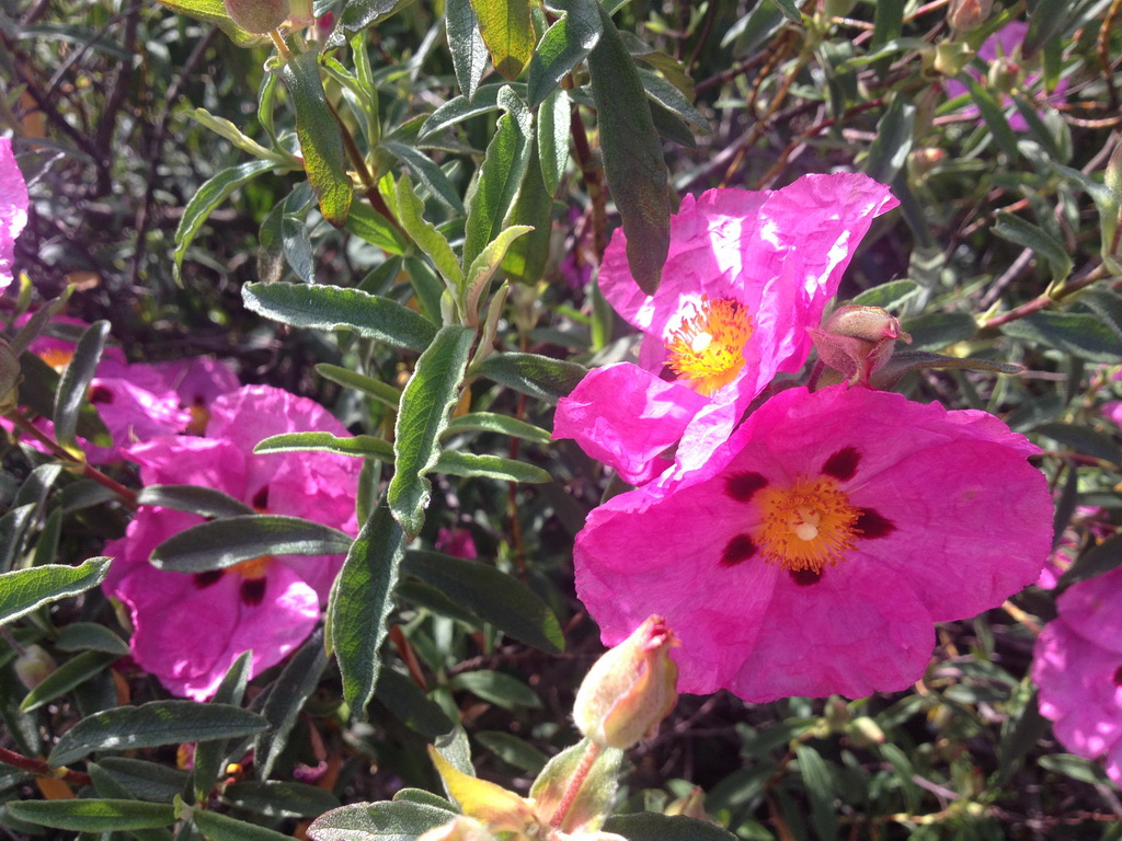 What is the name of this tender pink flower snaplant what is the name of this tender pink flower mightylinksfo