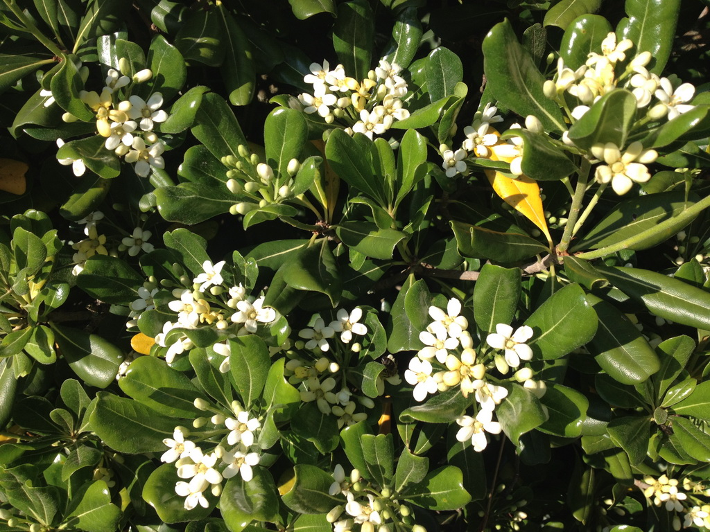 What is this bush with fragrant white flowers?