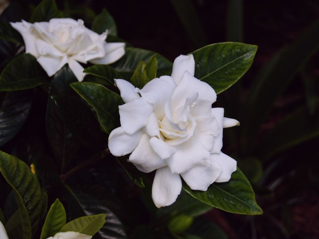 "Gardenia jasminoides cultivar ""Magnifica"""