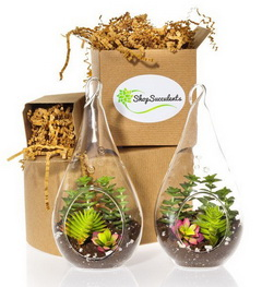 Teardrop Succulent Terrarium Duo Kit