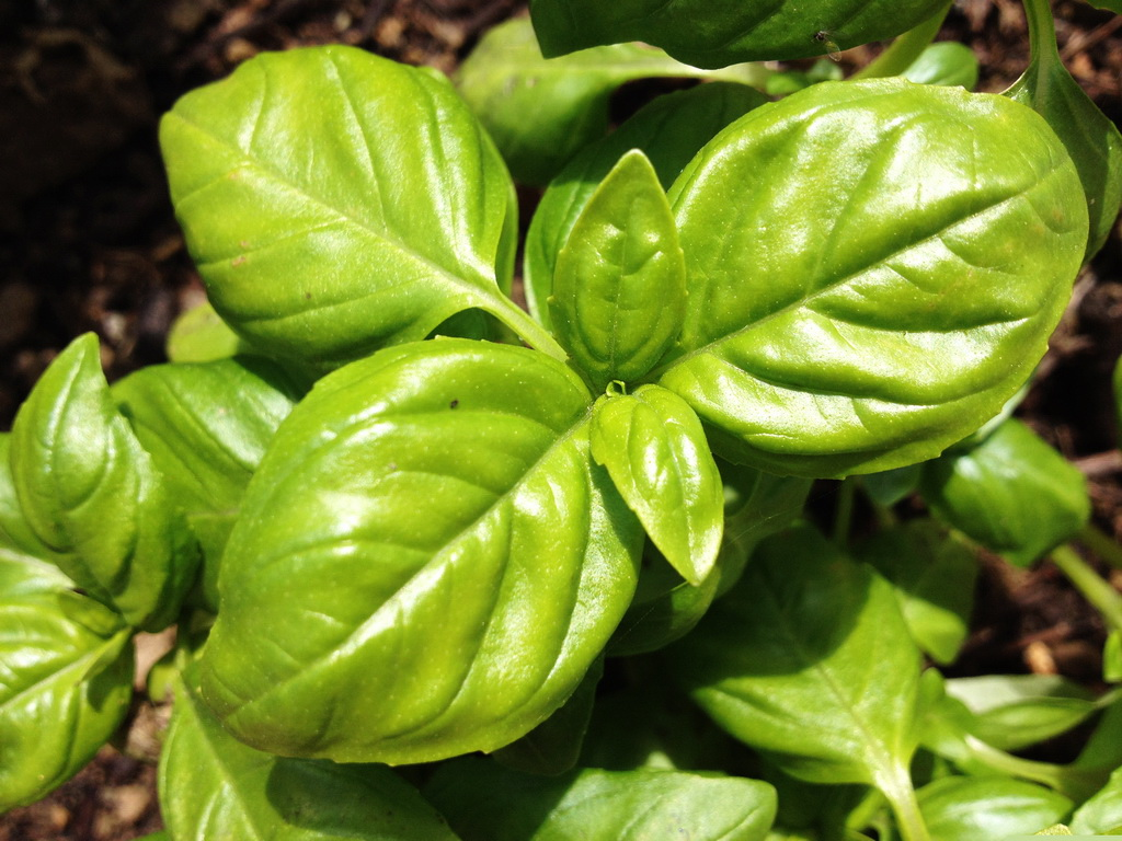 Basil Or The King Of Herbs