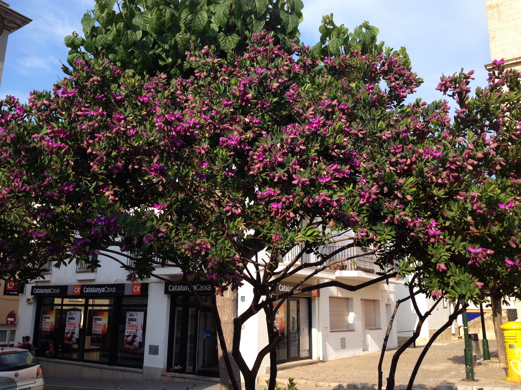 What is the name of this tree with purple flowers