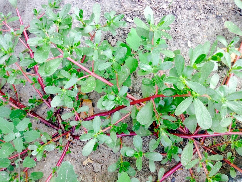 Purslane weed herb