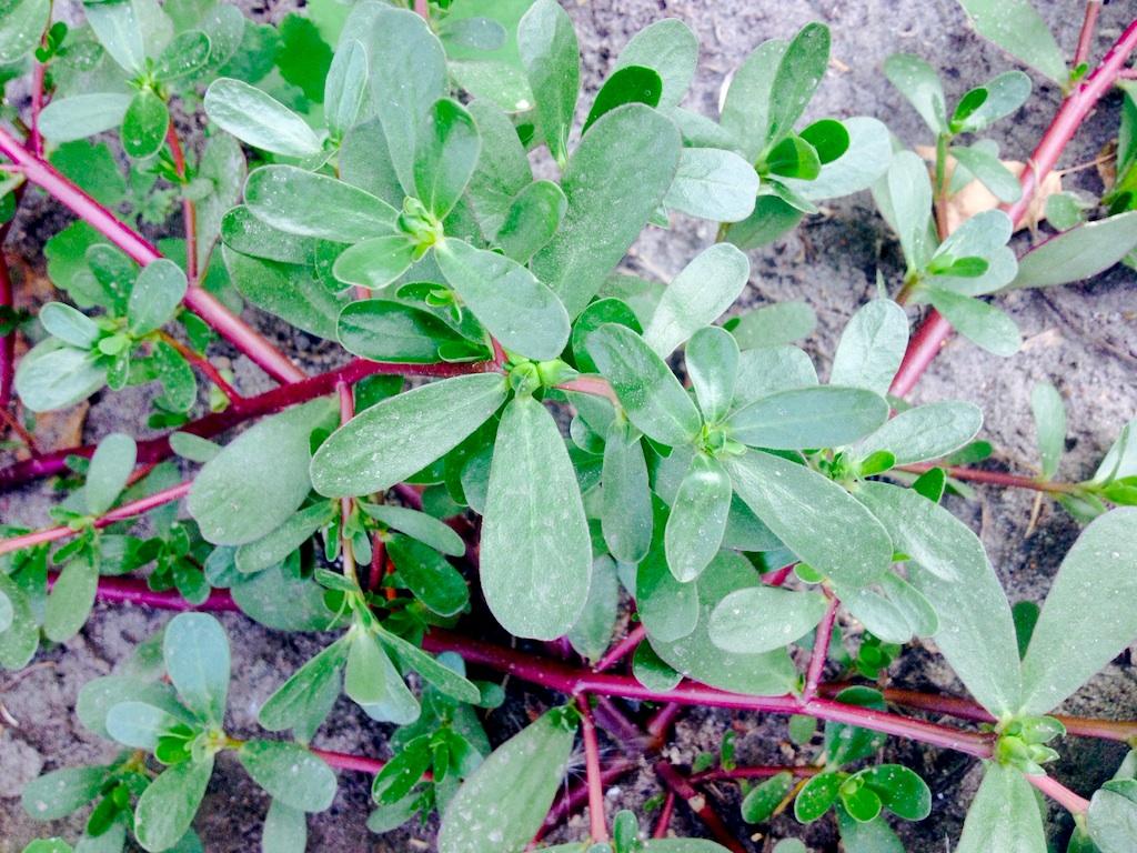 Purslane weed