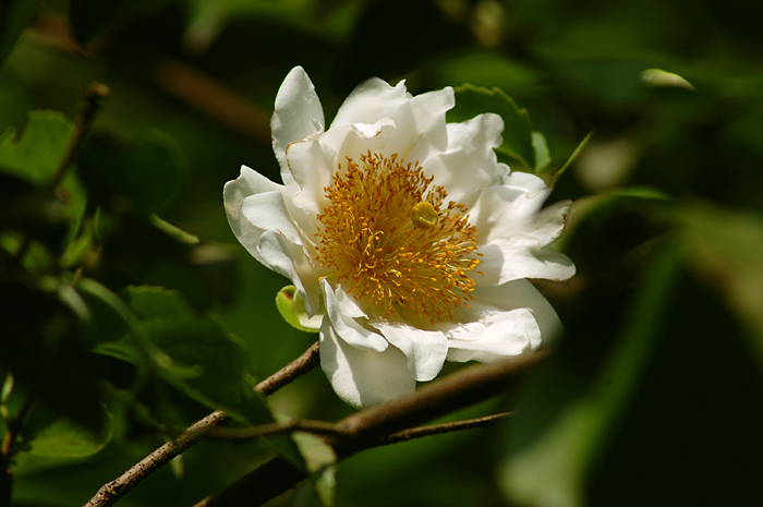 Oncoba spinosa flower