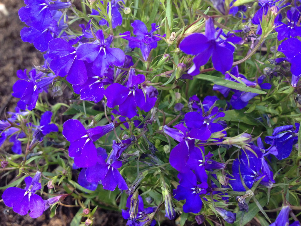 Outdoor plants with small purple flowers outdoor ideas what is the name of these small blue garden flowers snaplant com izmirmasajfo Images