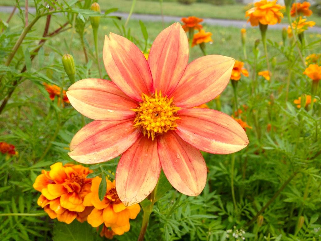Dahlia summer flower