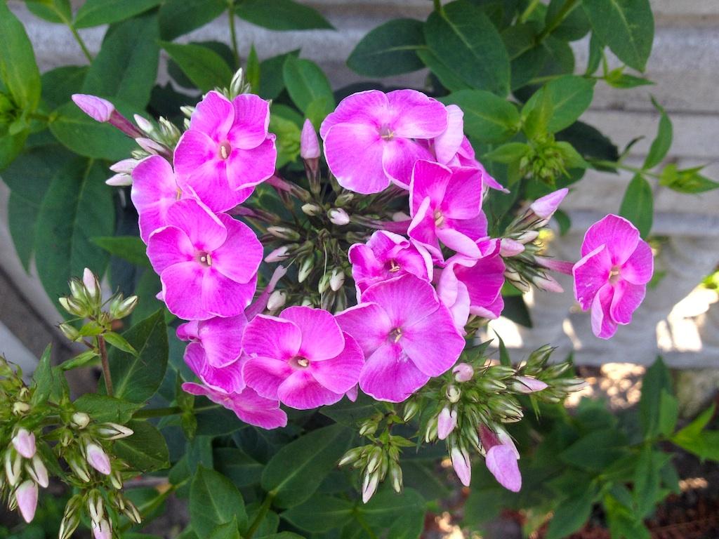 Garden pink flower name