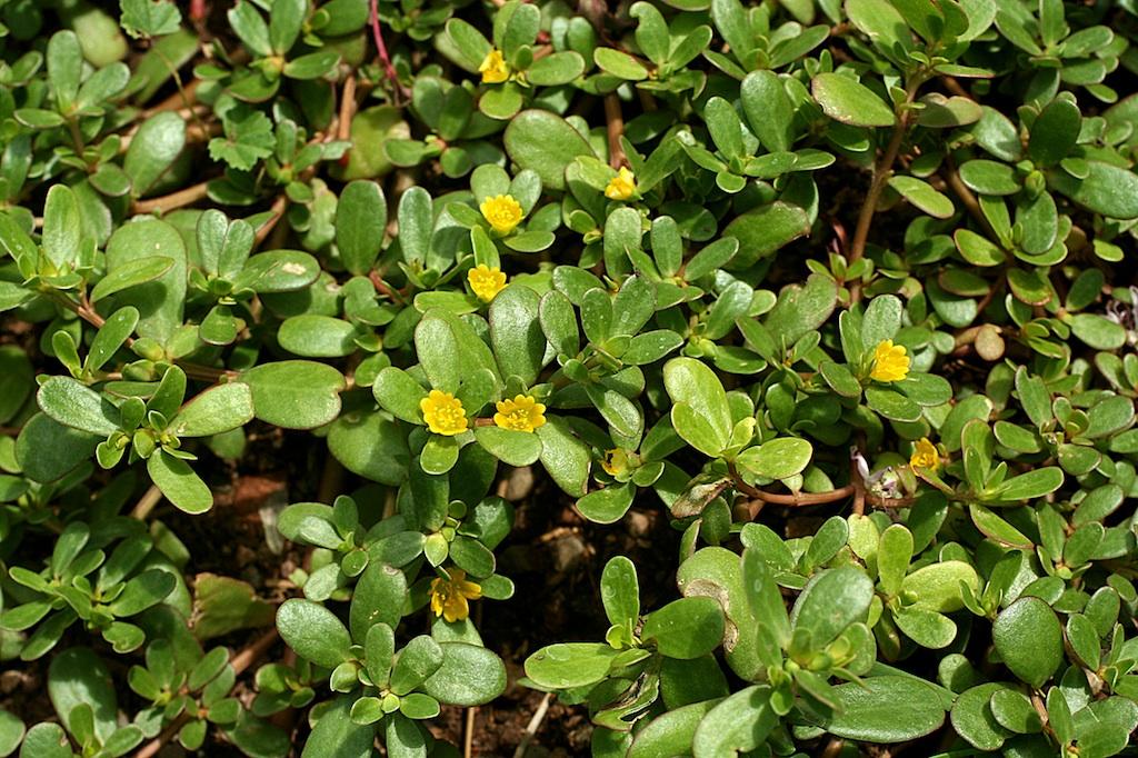 Purslane Or Portulaca Oleracea Is A Tasty And Nutrient-Rich Weed