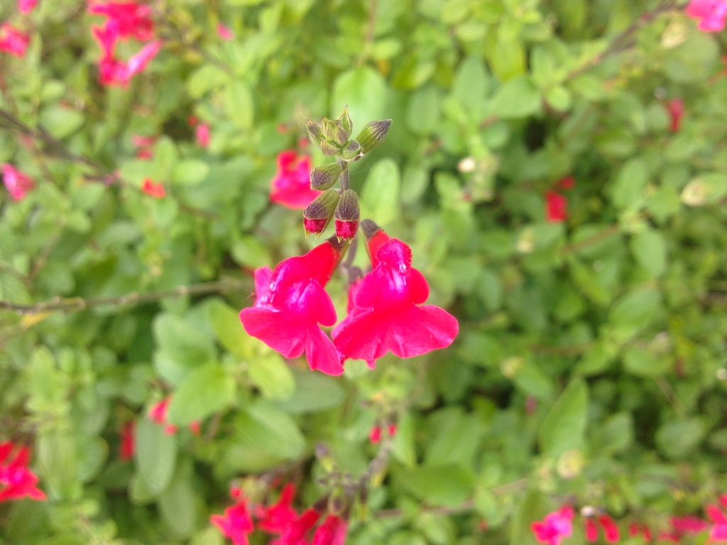 Salvia with red flowers