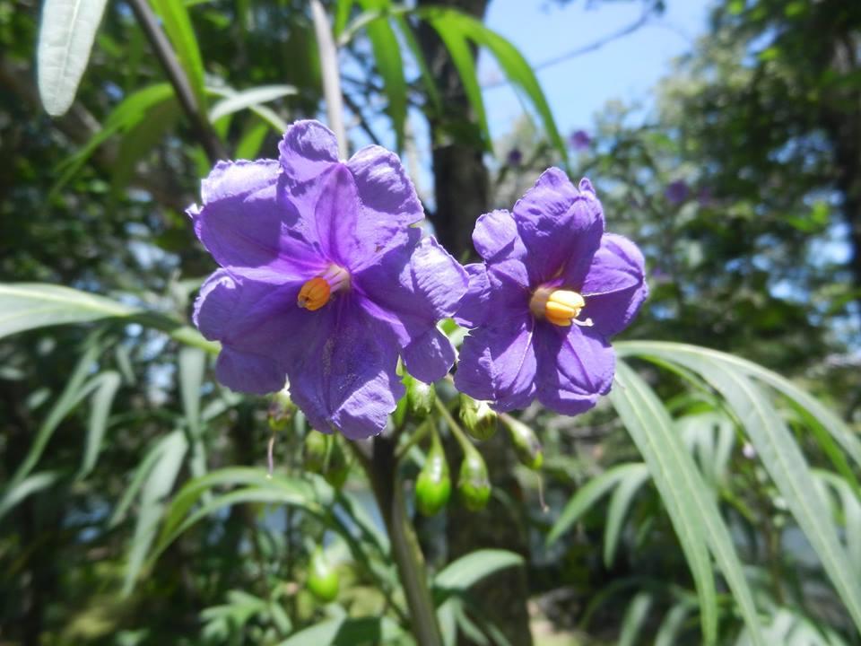 Violet flower identification