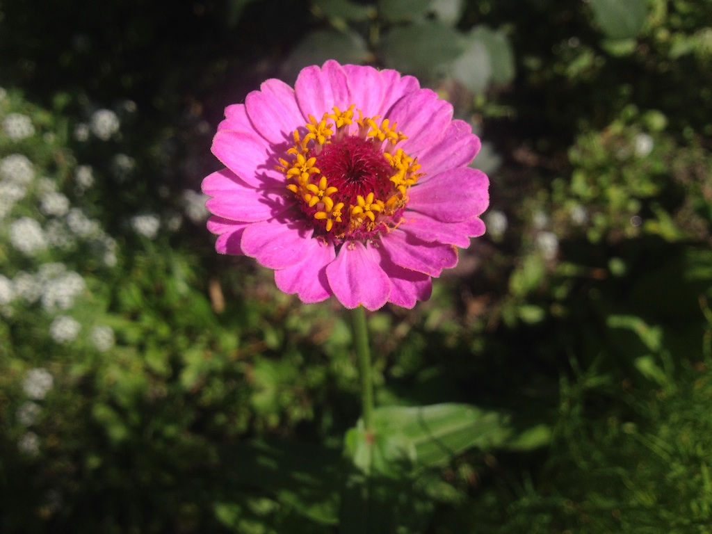 Zinnia flower bloom