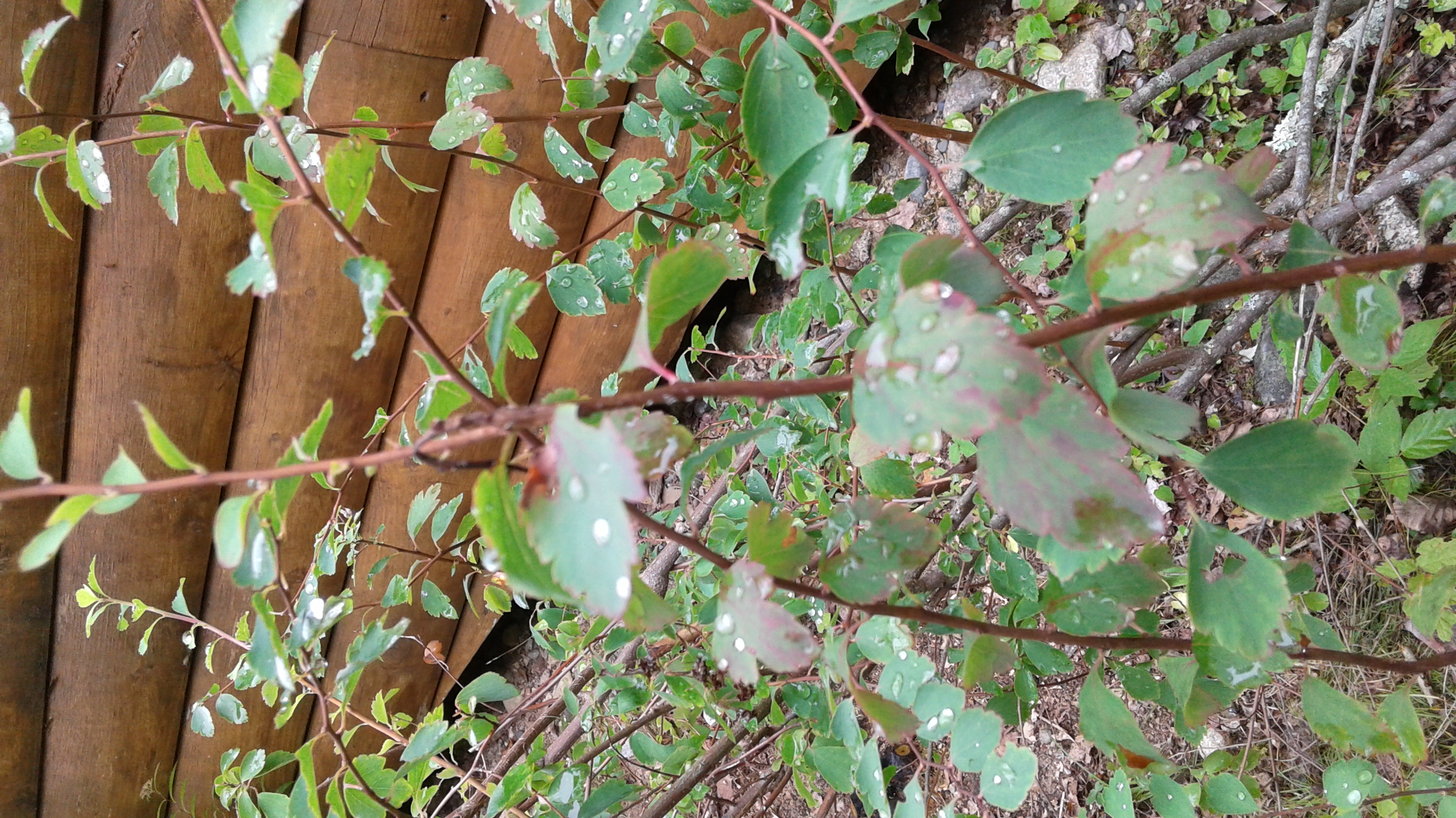 Help with shrub identification