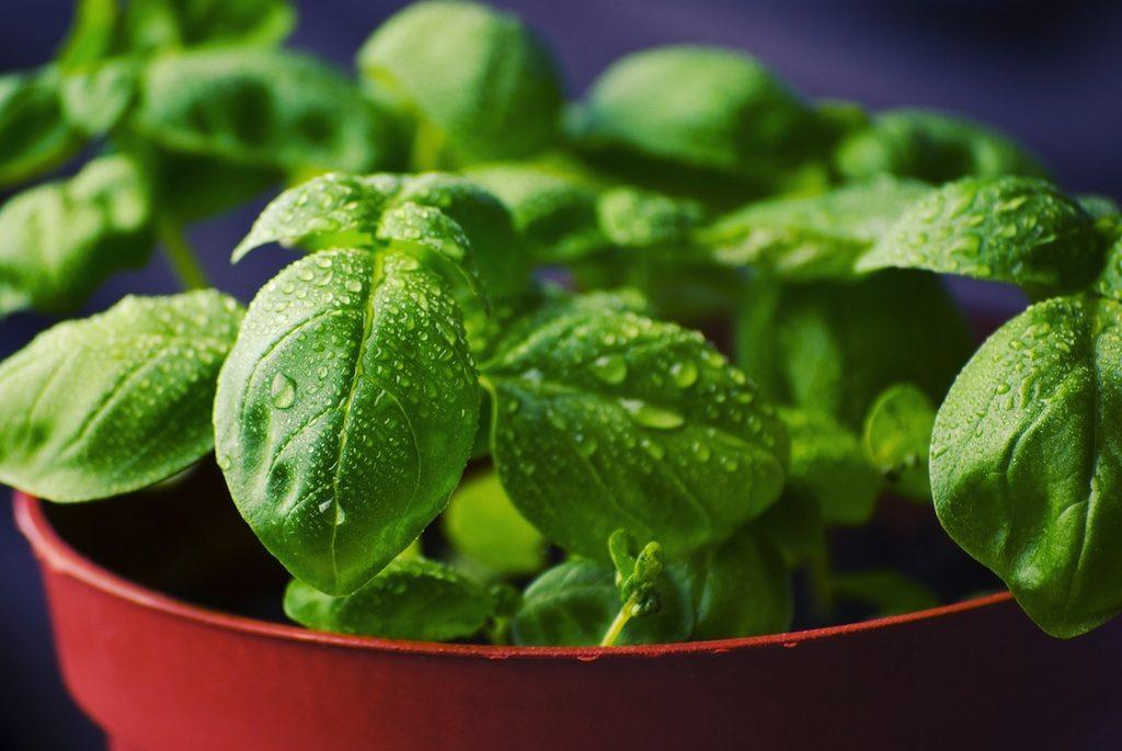 Basil herb or Ocimum basilicum