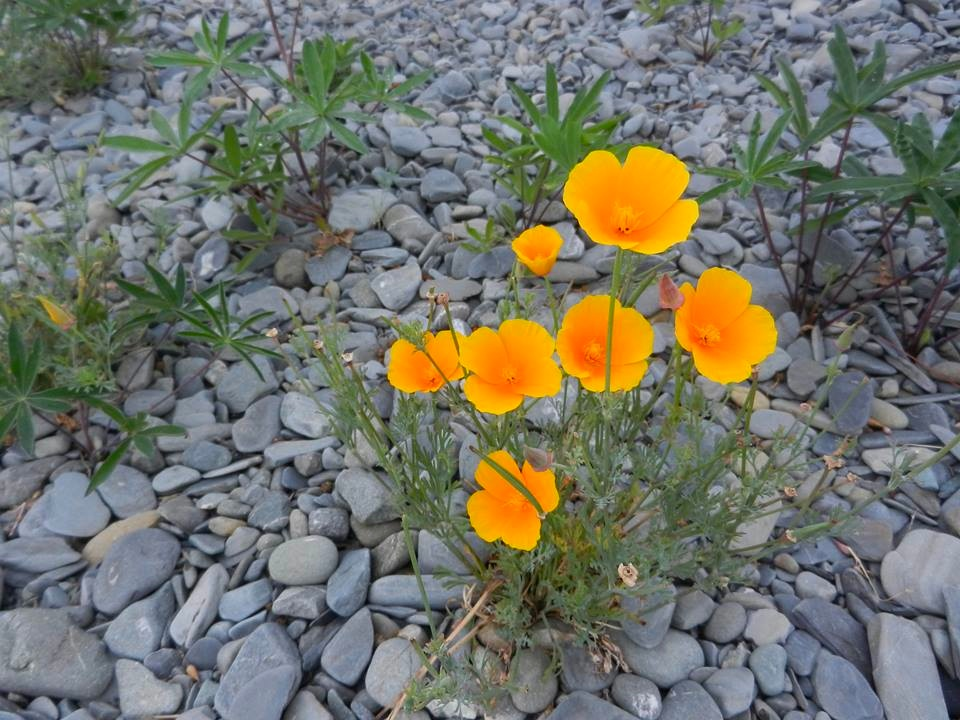 Eschscholzia californica or California poppy
