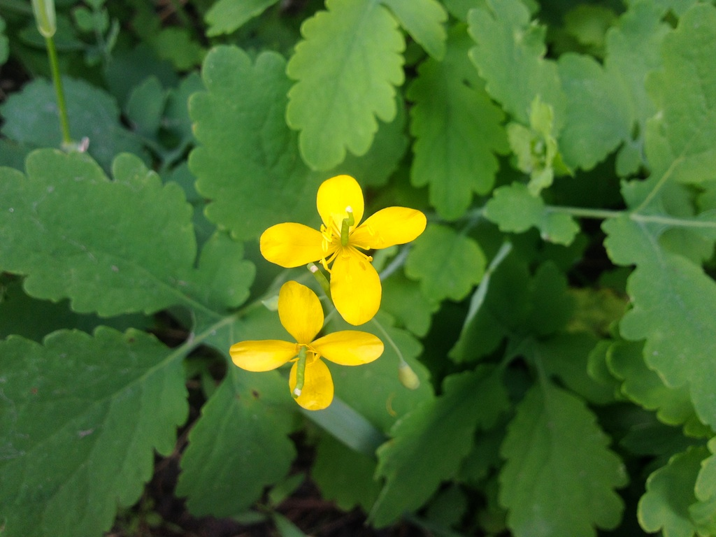 Chelidonium majus or greater celandine or tetterwort