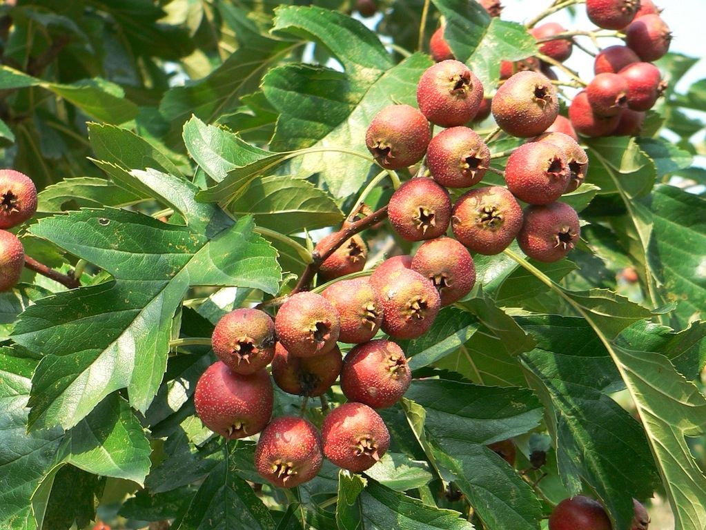 Crataegus pinnatifida (shanzha)