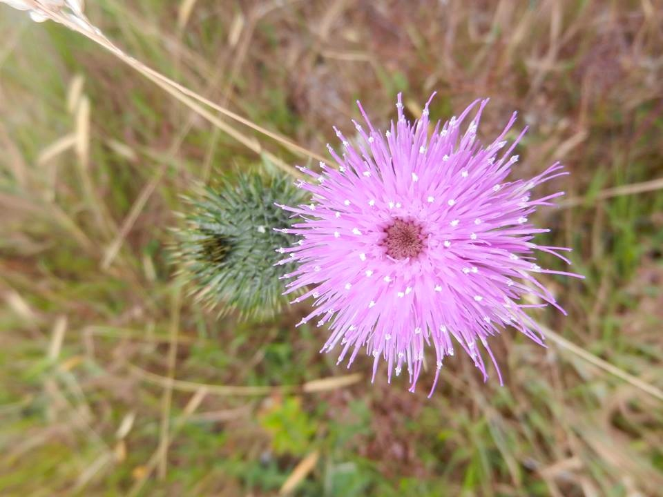 Thistle, travel in Australia