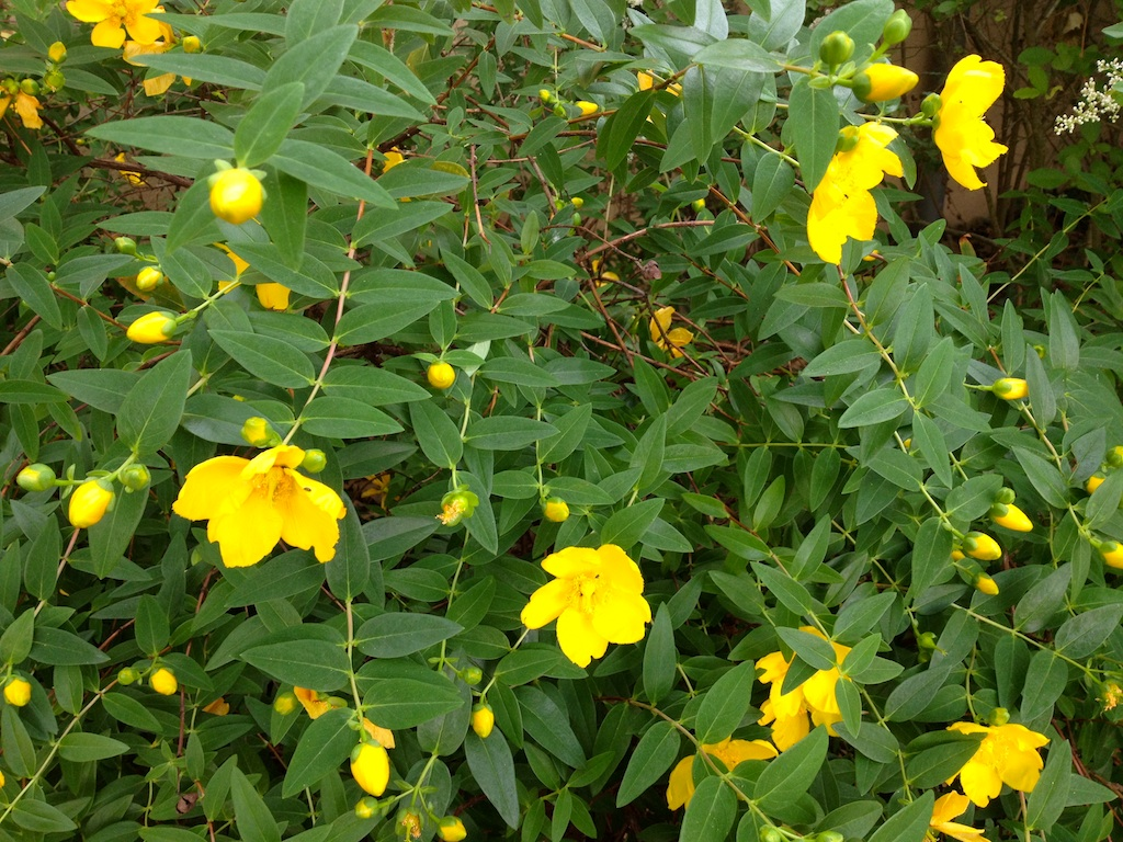 What Is This Bush With Bright Yellow Flowers Snaplant
