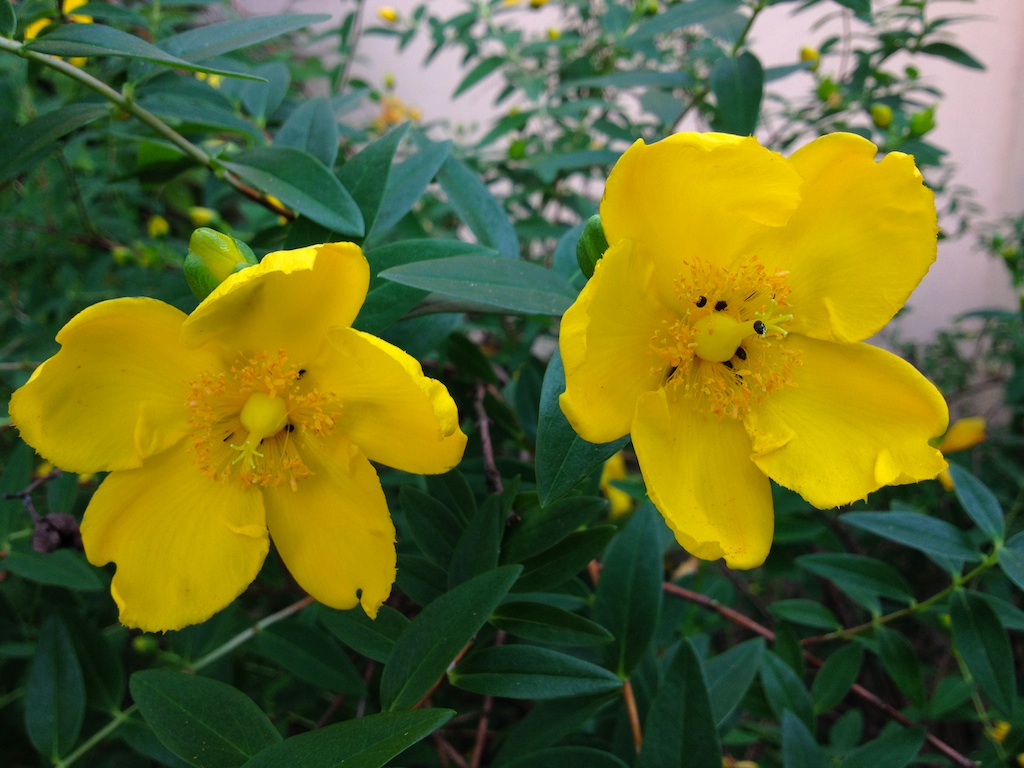 What is this bush with bright yellow flowers snaplant what is this bush with bright yellow flowers mightylinksfo