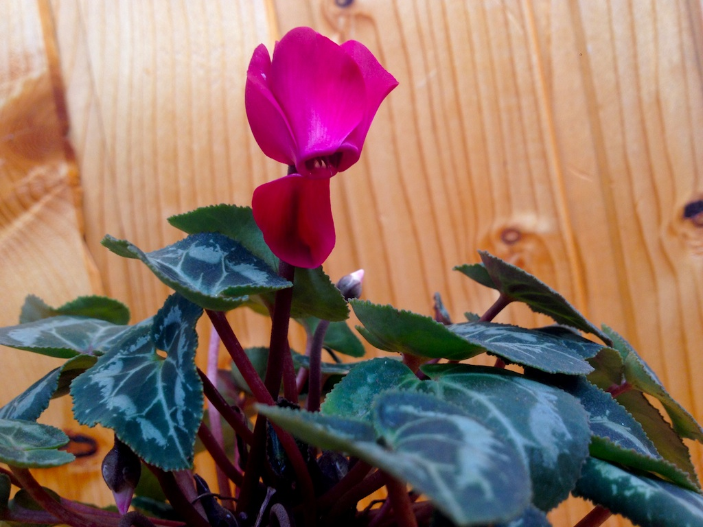 Cyclamen houseplant blooming