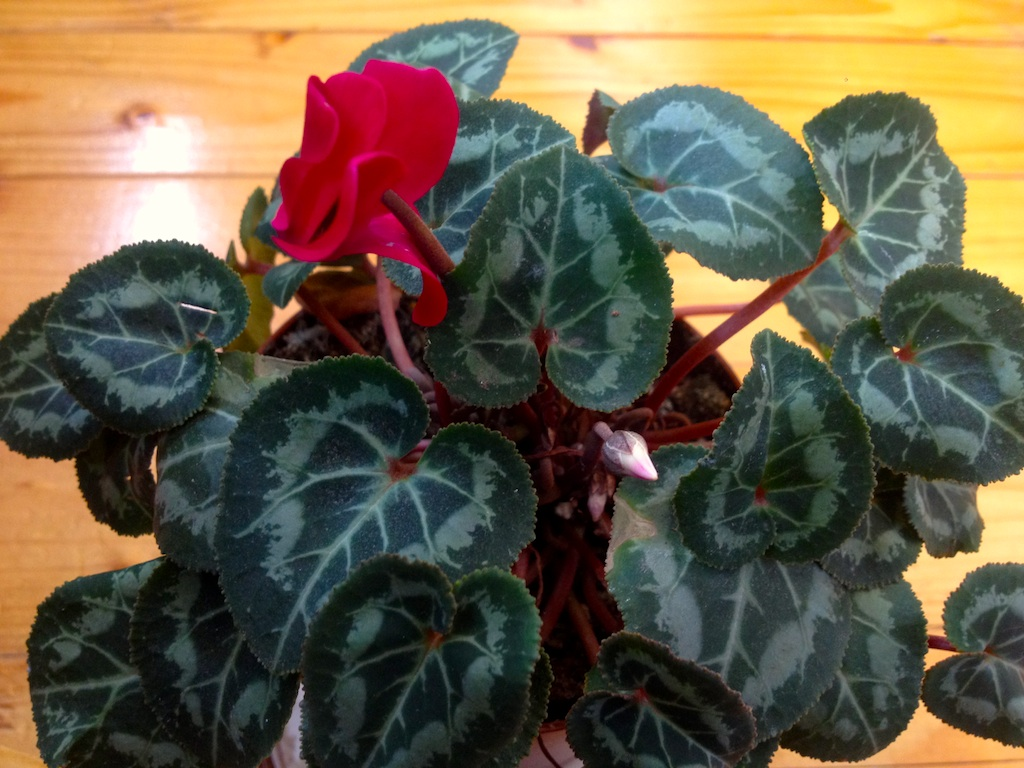 Cyclamen houseplant blooms