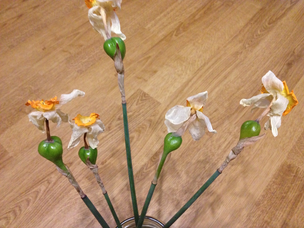 How to grow Daffodils (Narcissus)