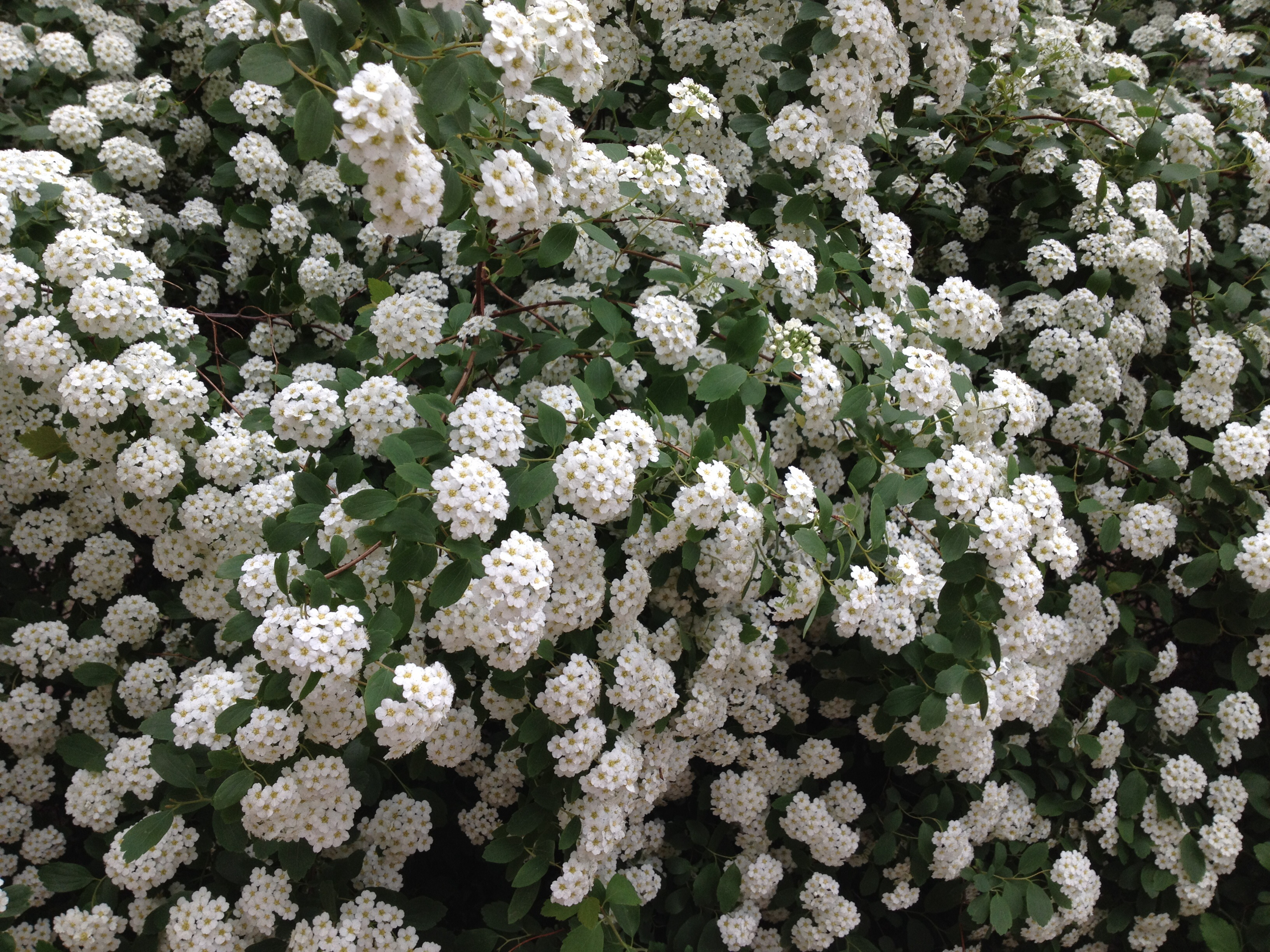 What's the name of this bush with white flowers like a bride?