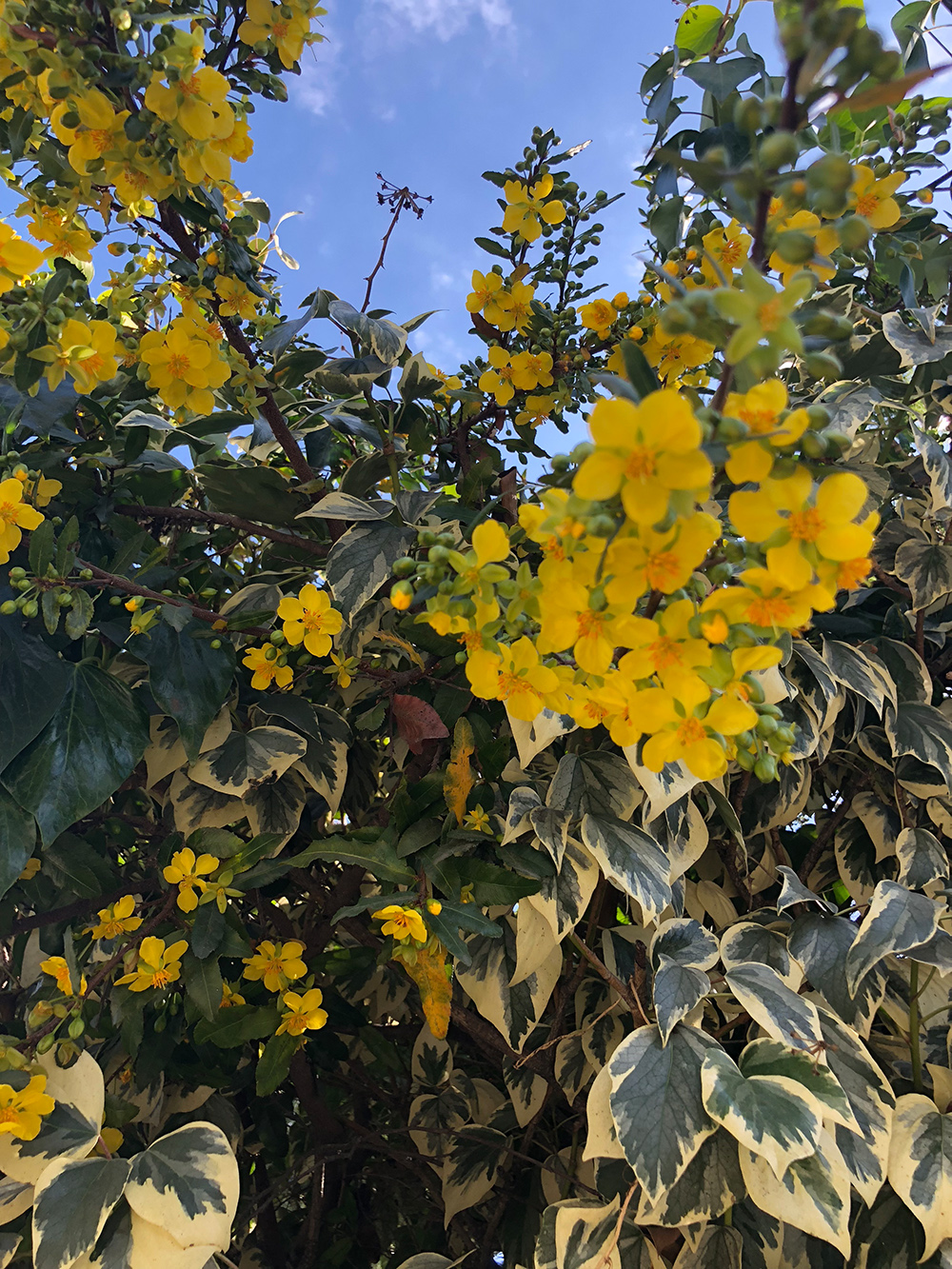Help identifying yellow flowering shrub?