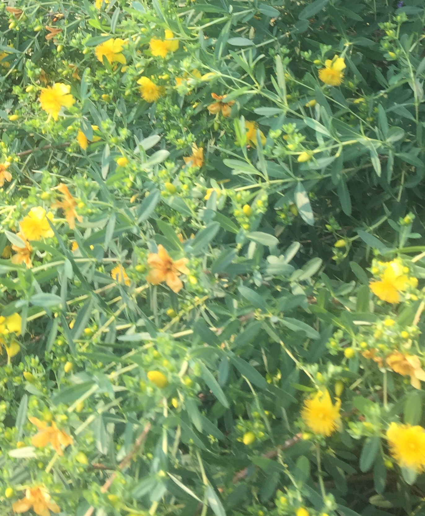 What is this shrub with yellow flowers?