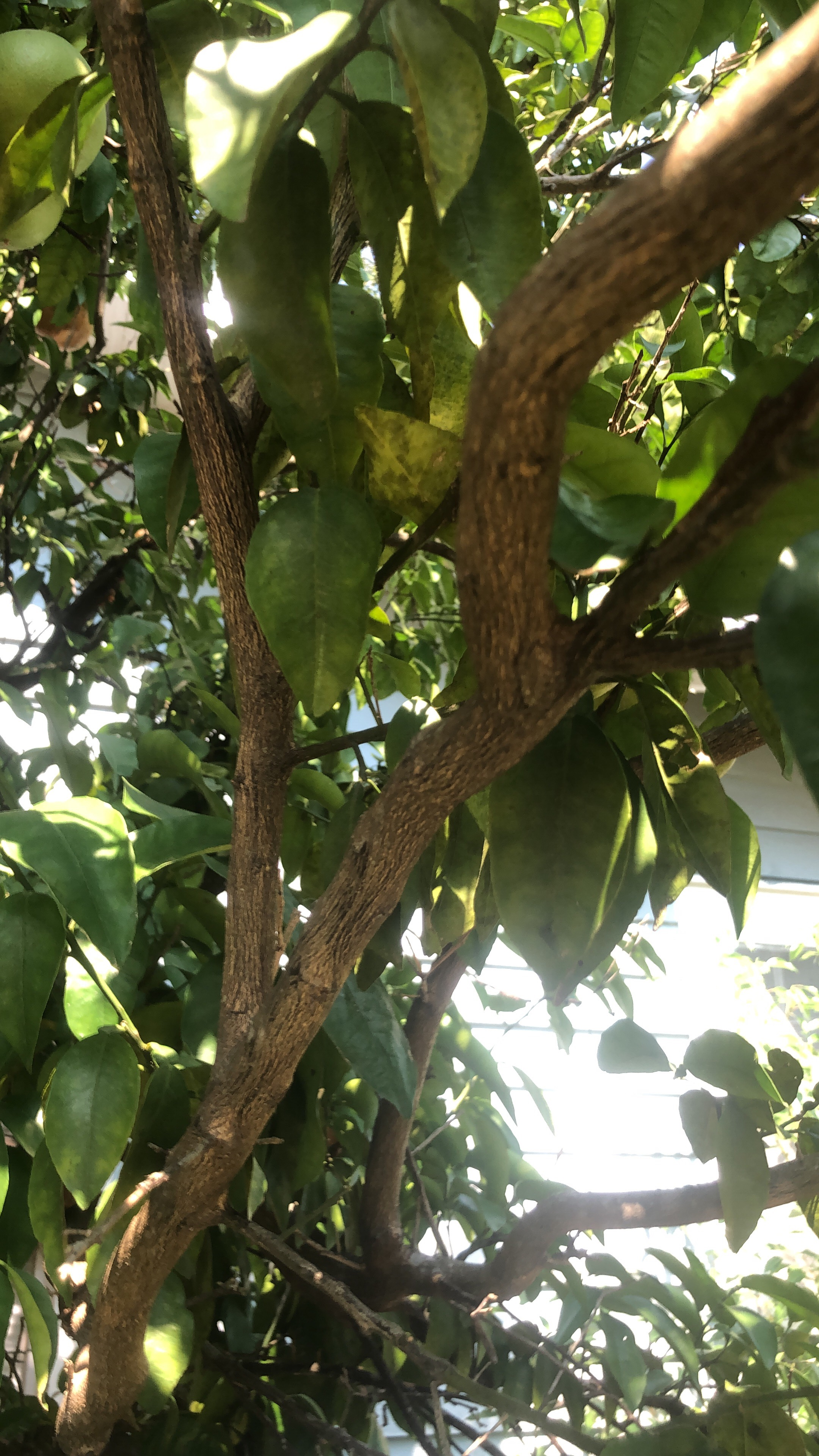 What type of fruit.  Louisiana