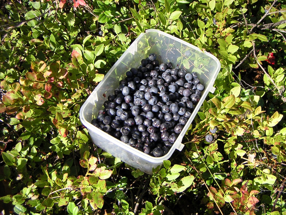Bilberries (wild blueberries)